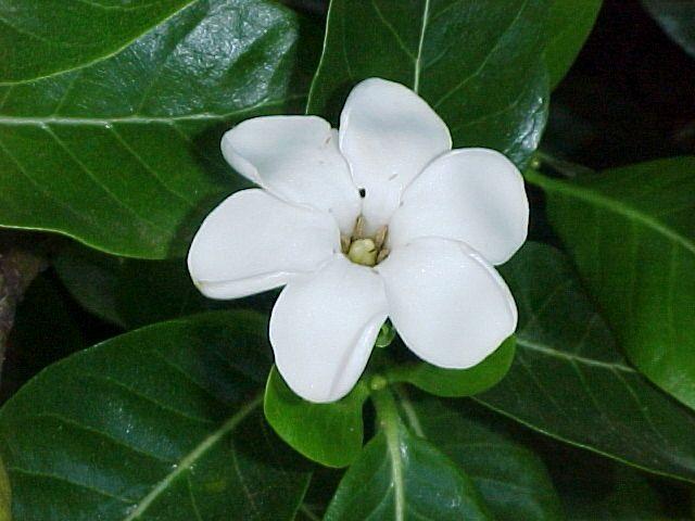 Native Hawaiian Gardenia Hawaiian Plants Plants Flowering Trees