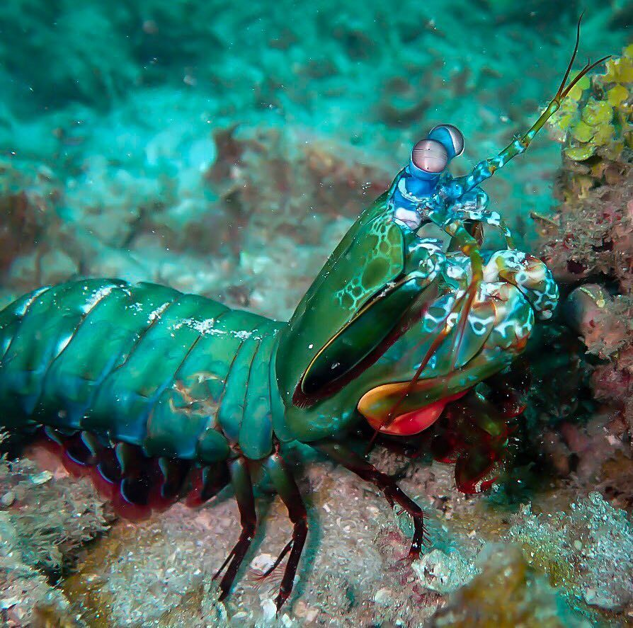 So This Is One Of My Favorite Creatures In The Ocean The Peacock Mantis Shrimp These Guys Not Only Have The Most Mantis Shrimp Creatures Incredible Creatures