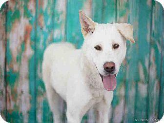 Hayward, CA - Akita/Labrador Retriever Mix. Meet Whitney, a dog for adoption. http://www.adoptapet.com/pet/11289387-hayward-california-akita-mix