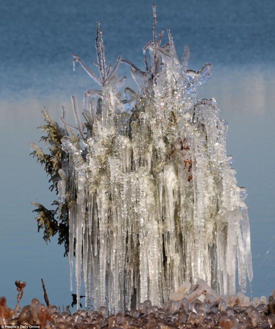 Ice block: Above, the pine tree is so densely laden with icicles that it's almost turned into one and you can barely make out the plant
