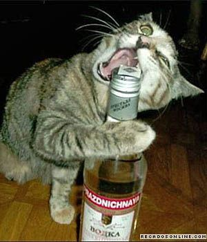 Image result for Cat drinking beer