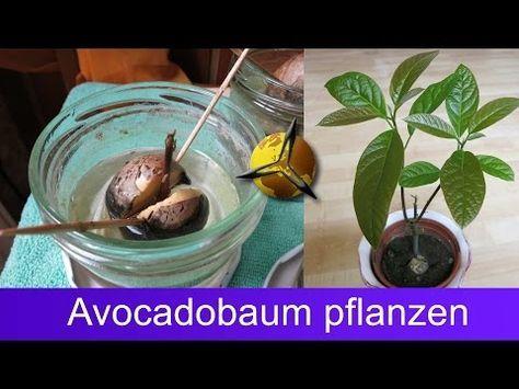 avocado pflanzen avocadobaum selber ziehen haus. Black Bedroom Furniture Sets. Home Design Ideas