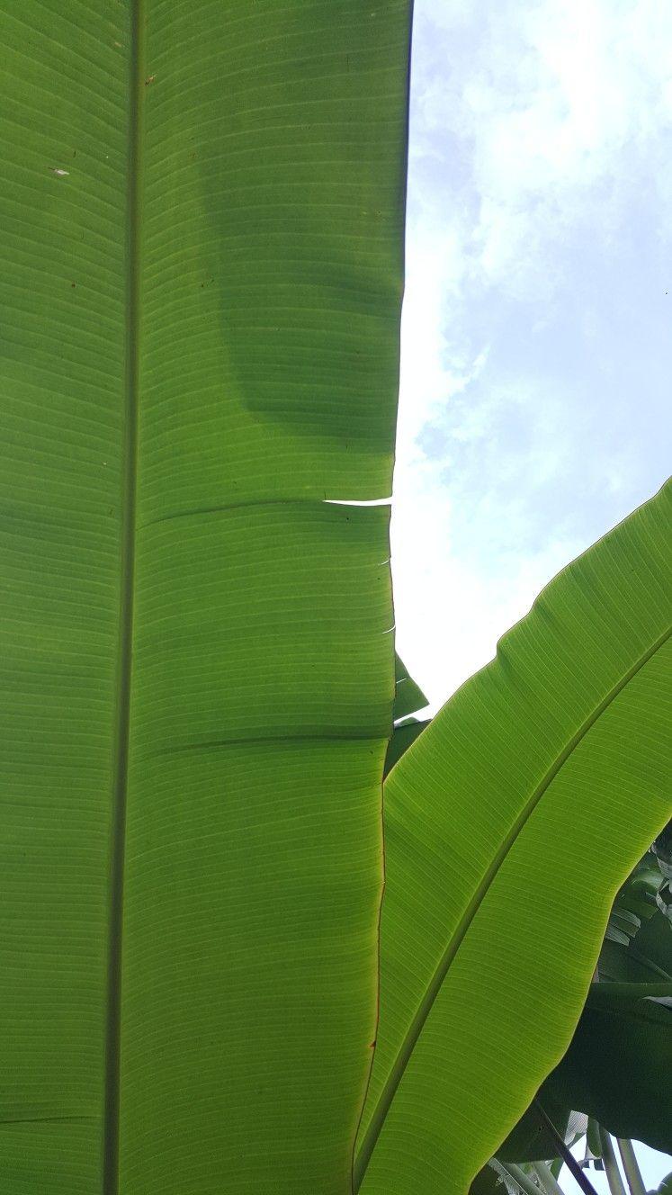 daun pisang banana leaf di 2020 pohon pisang daun pisang banana leaf di 2020