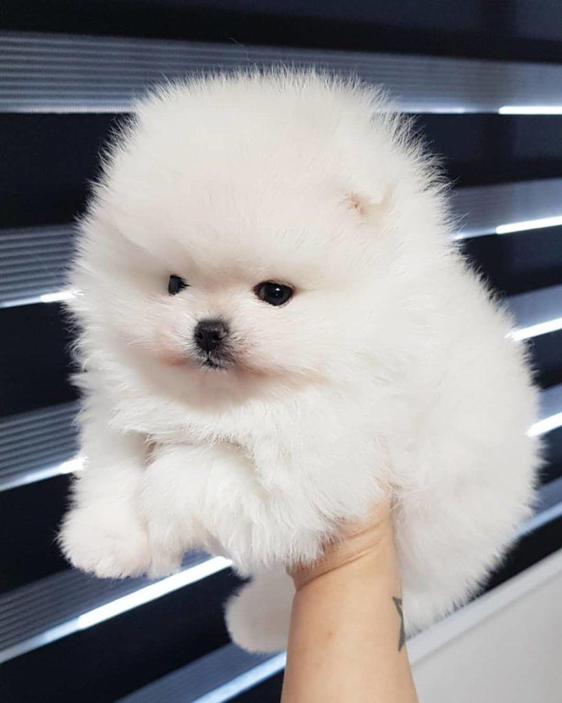 White Teacup Pomeranian Puppies For Sale Visit Website Puppy4homes In 2020 Pomeranian Puppy Pomeranian Puppy For Sale Pomeranian Puppy Teacup