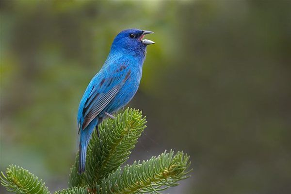 I watched this Indigo Bunting protect his territory and sing for several days. At a time when the lighting was good, I was able to set up and catch him in mid-song with my Canon 20D and Canon 100-400mm lens. These beautiful birds are seen commonly in my area, in northeastern Pennsylvania, along the rural roads.