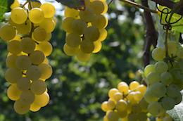 Shelburne Vineyard's Louise Swenson grapes.
