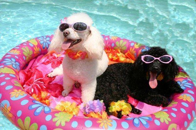Community Post The Dog Days Of Summer Caniche Perros Perro Gato