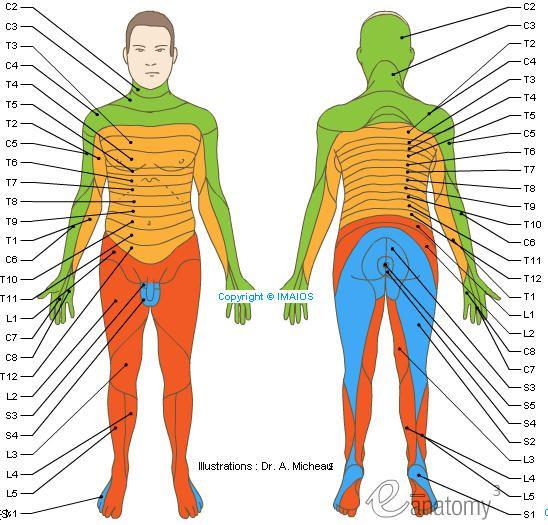 Spinal Dermatomes Dermatomes Spinal Nerves C1 C2 C3 C4 C5 C6