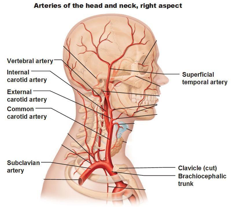 Carotid Artery Anatomy Chiropractic Neck Manipulation And Risk Of Stroke Carotid Artery Vertebral Artery Arteries