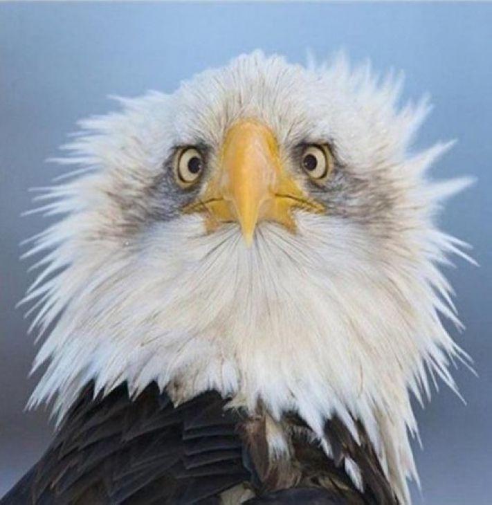 Por fin entiendo por qué siempre se fotografía a las águilas calvas ...