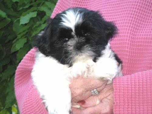 530 842 9757 Leave Message Speak Your Www Shihtzuhappens Net Shihtzuhappens Gmail Com Shih Tzu Puppy Dogs And Puppies Puppies