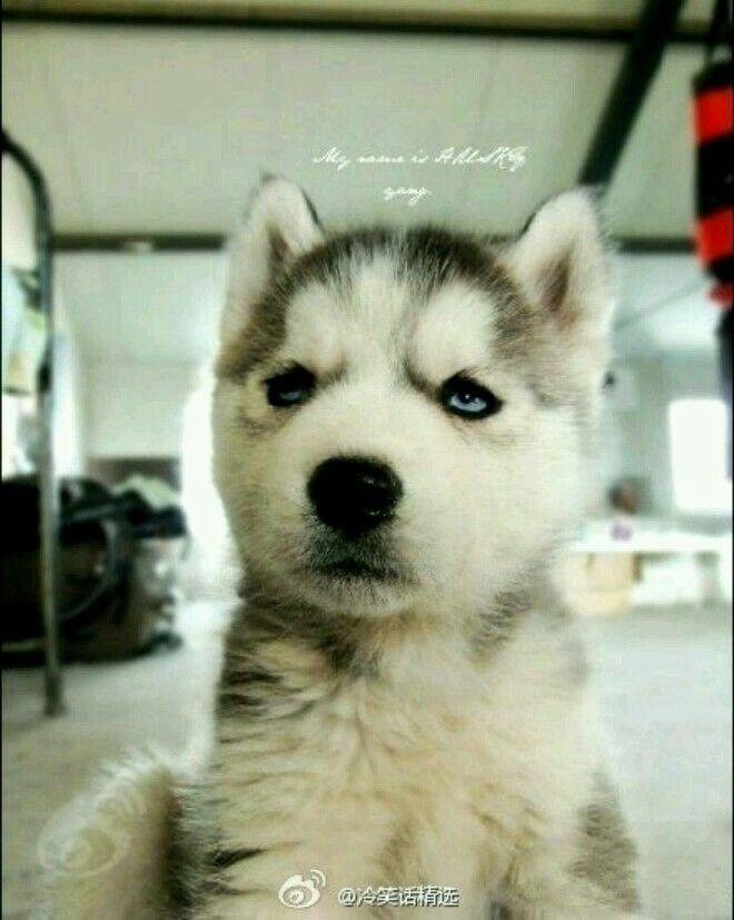 Pin By Chika Hirai On My Future Dog Siberian Husky Puppies