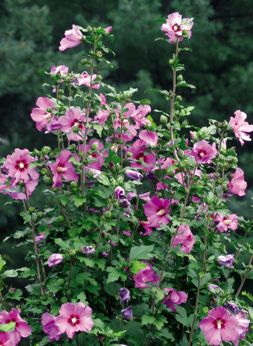 Rose Satin Rose of Sharon | Plants/Garden | Pinterest | Hibiscus ...