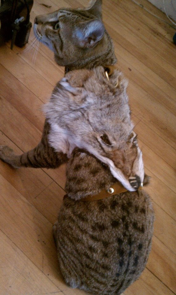 Why does this just seem wrong? Coyote Face Cat Harness by