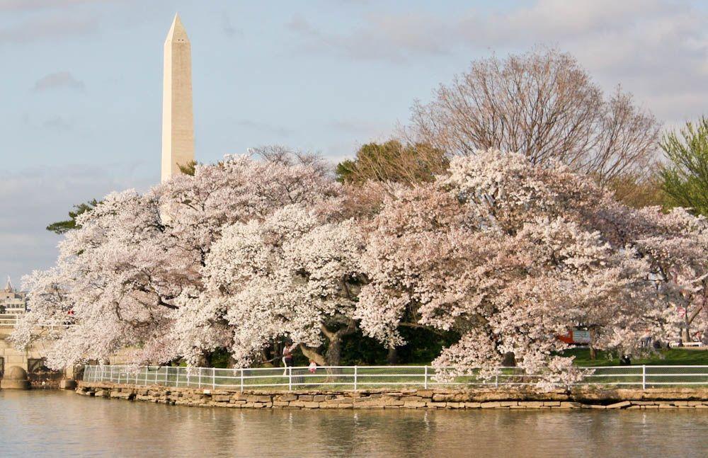 Washington Cherry Blossoms Washington Dc Cherry Blossoms Cruise Cherry Blossom Dc Cherry Blossom Washington Dc Blossom