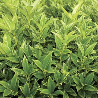 Fragrant Mountain™ Sweetbox  Perfect; good height, evergreen dry & shade tolerant