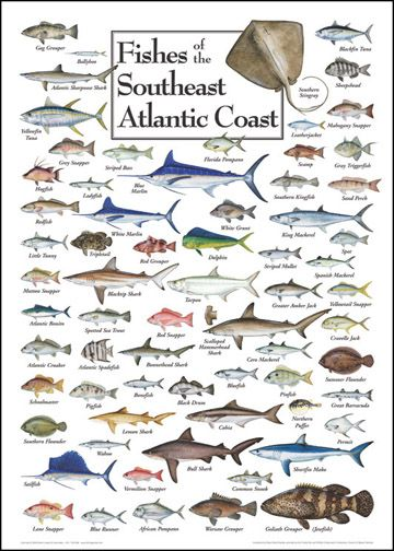 Fishes of the southeast atlantic coast saltwater fish charts key