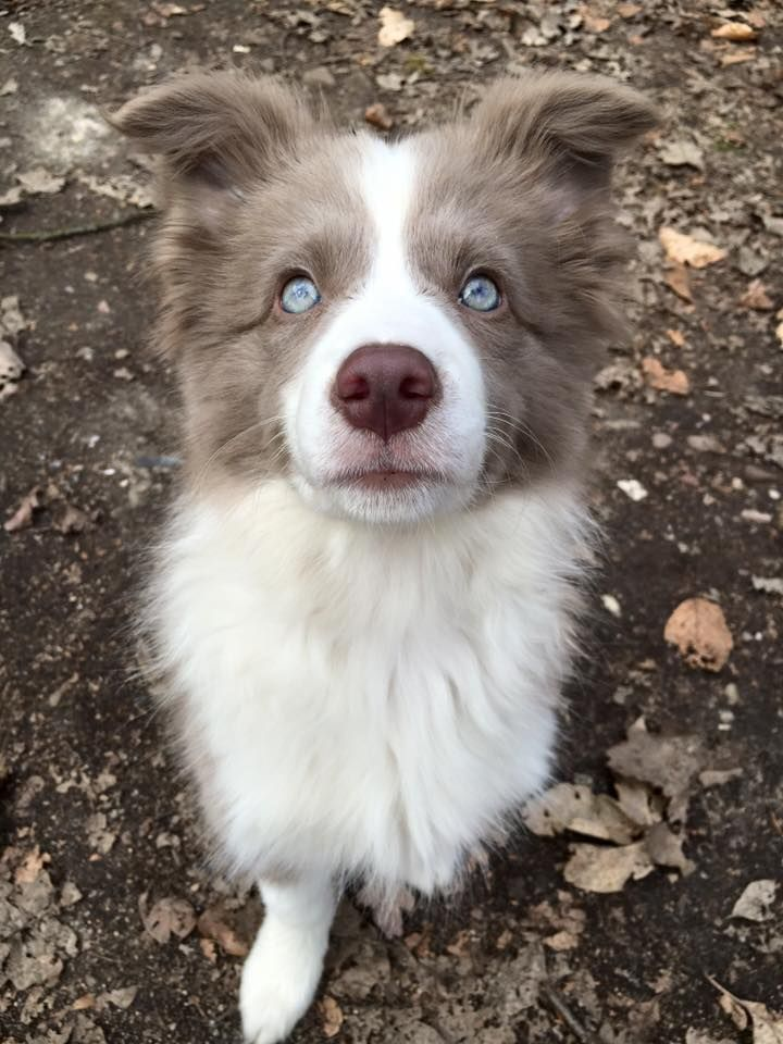 Nicnacs From Paradise Falls Border Collie Female Lilac White