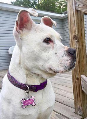 New York, NY Boxer. Meet Cloud a Pet for Adoption. Pet