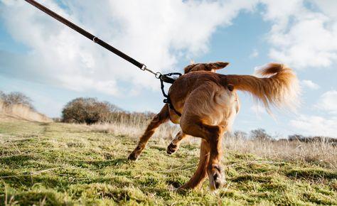Hunde Die An Der Hundeleine Ziehen Konnen Nicht Nur Sich Selbst Sondern Auch Die Halter Durch Das Gezerre Verlet Hunde Aufgeregter Hund Hundetricks