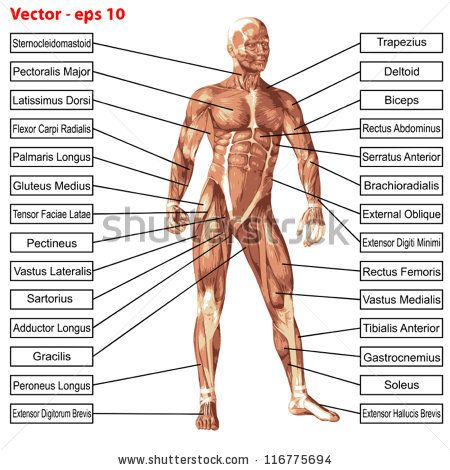 vector eps concept or conceptual 3d human anatomy and muscle, Muscles