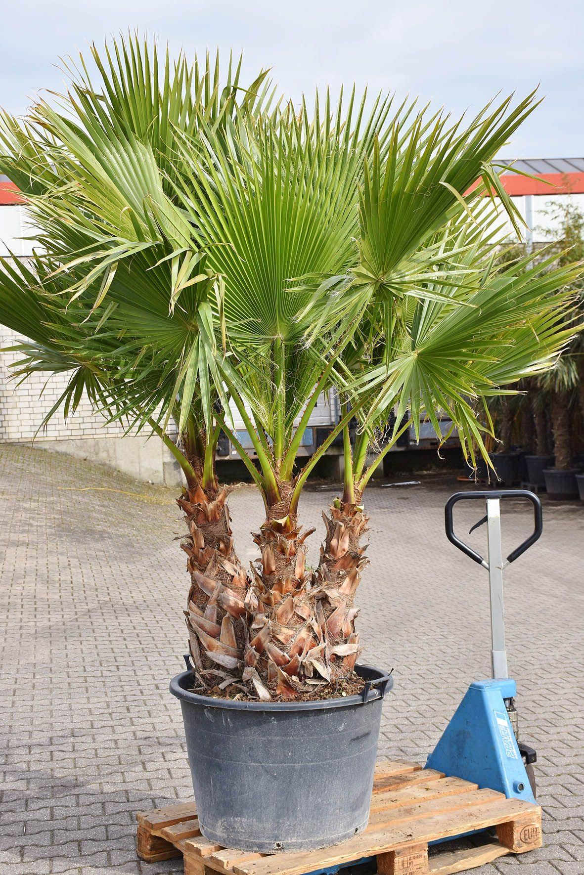 Petticoat Palme Mexikanische Washingtonpalme 3er Stamm Tropische Gartengestaltung Tropische Pflanzen Winterharte Palmen