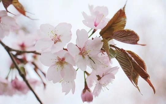 Free Image On Pixabay Japanese Cherry Trees Japanese Cherry Tree Flora Flowers Leaf Nature