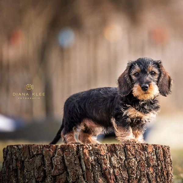 Hundefotografie im Märkischen Kreis und NRW Dackel