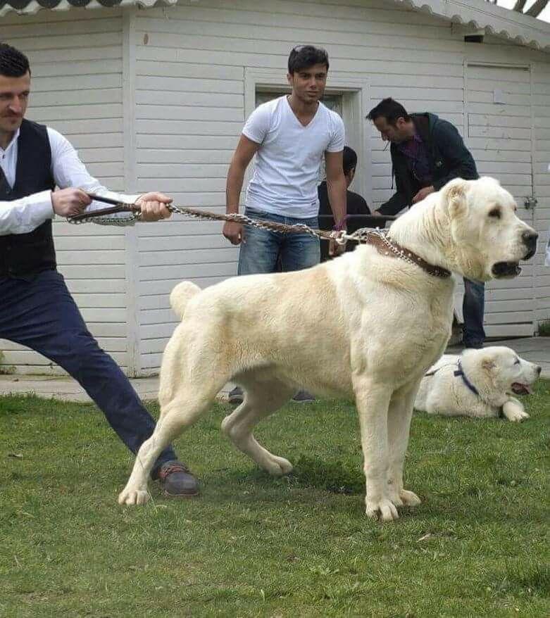 Huge Dog Breeds For Sale
