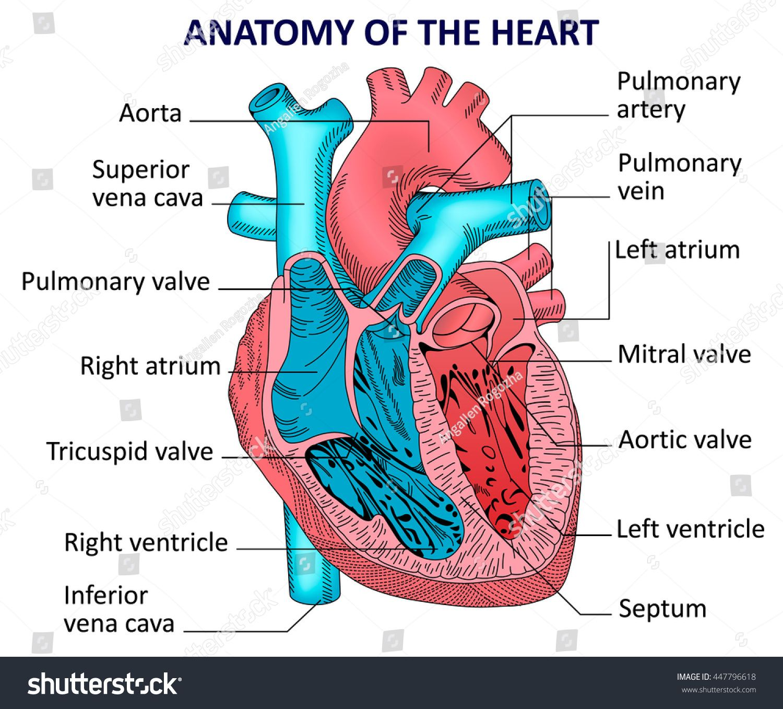 Human Internal Diagram Human Anatomy Organs Pinterest Heart