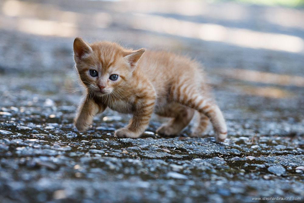 crouching tiger (With images) Cute animal photos, Kitten