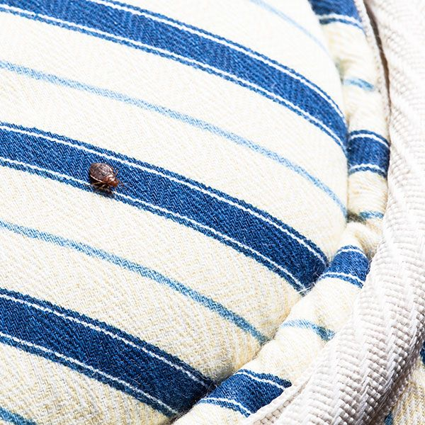 Where Do Bed Bugs Come From Bed Bugs Are Not Native To Australia