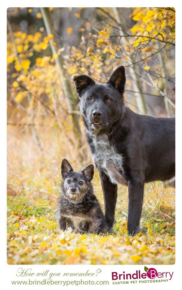 Brindleberry Custom Pet Photography Black Dogs Fall Best