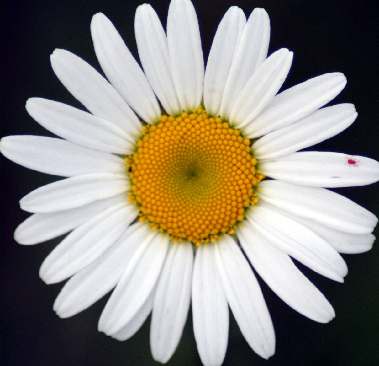 Daisy images in the usa guest blog 3 dancing with daisy daisy images in the usa guest blog 3 dancing april birth flowersdaisy izmirmasajfo
