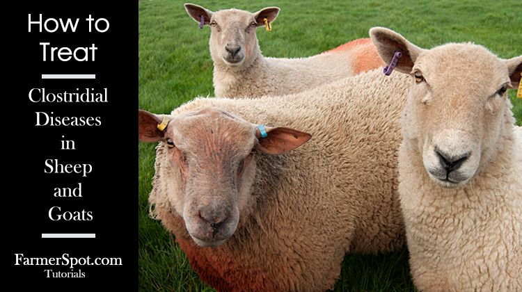 How to treat Clostridial Diseases in Sheep and Goats
