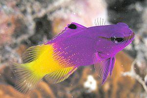 Basslets And Assessors Are Small Long Bodied Fish Saltwater Fish Tanks Marine Fish Marine Aquarium Fish