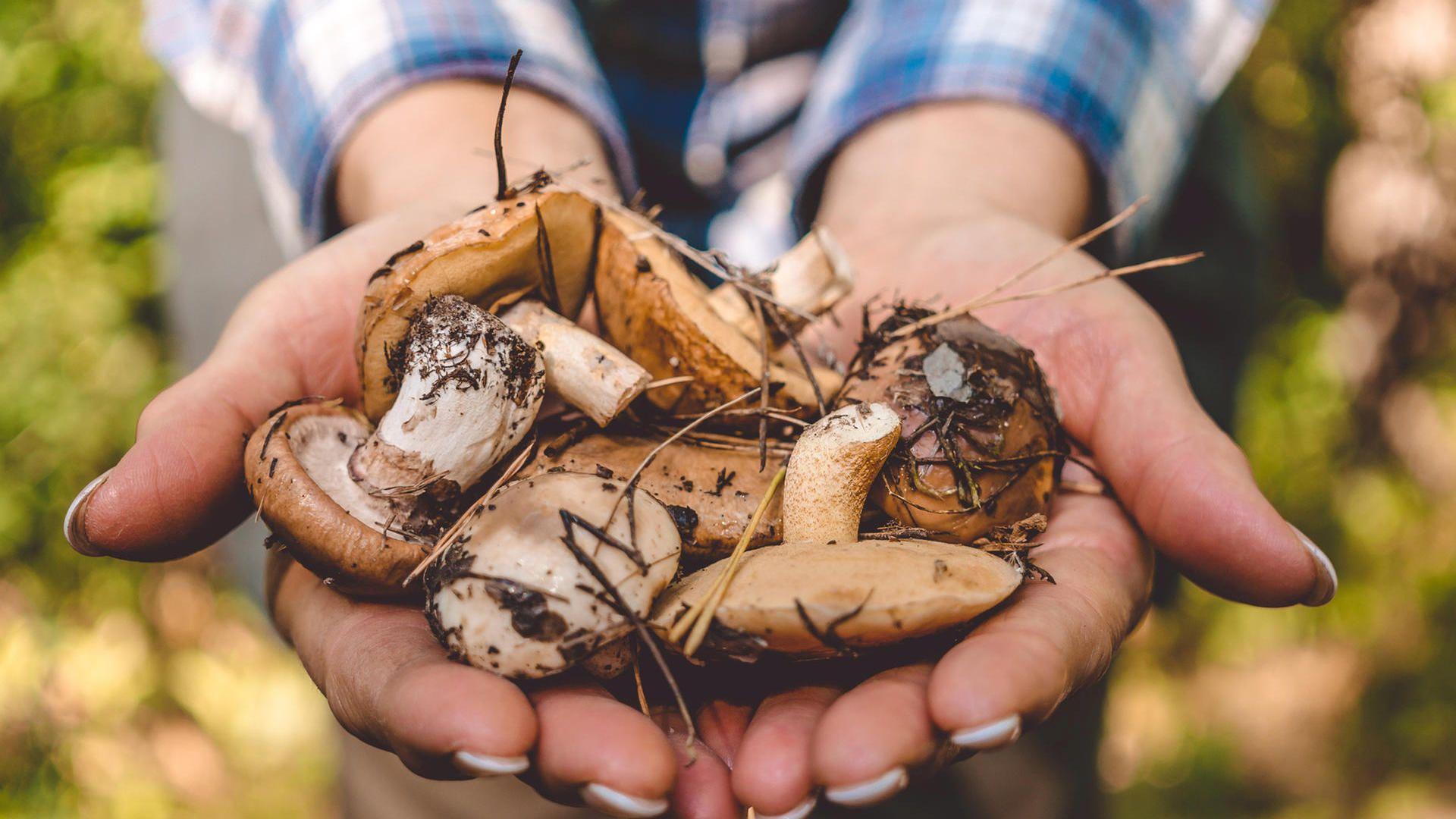 Diese Pilze Haben Jetzt Saison Pilze Pilze Sammeln Essbare Pilze