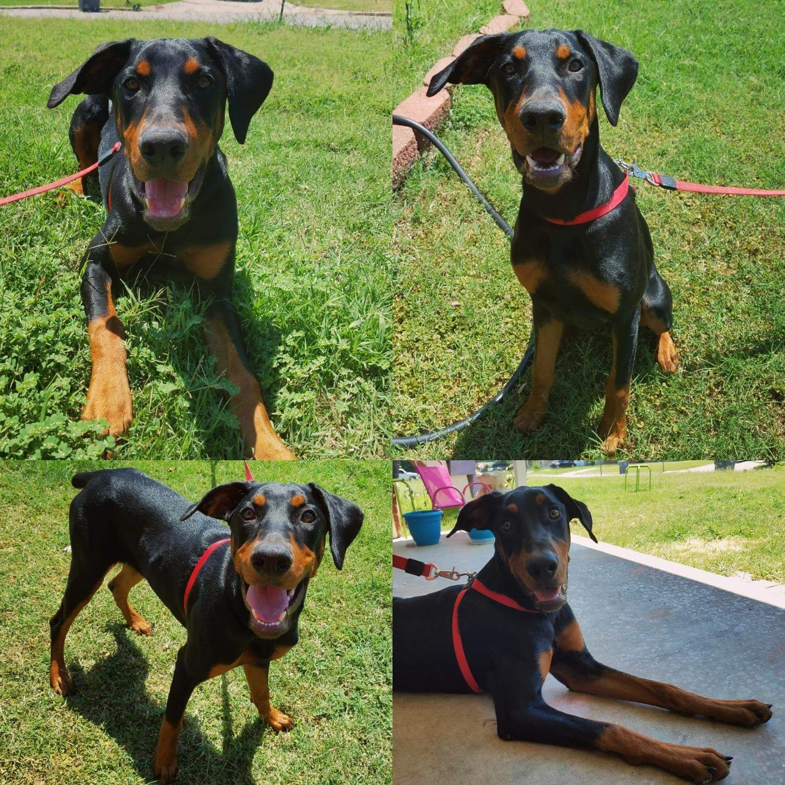 Doberman Pinscher Dog For Adoption In Lawton Ok Adn 598681 On