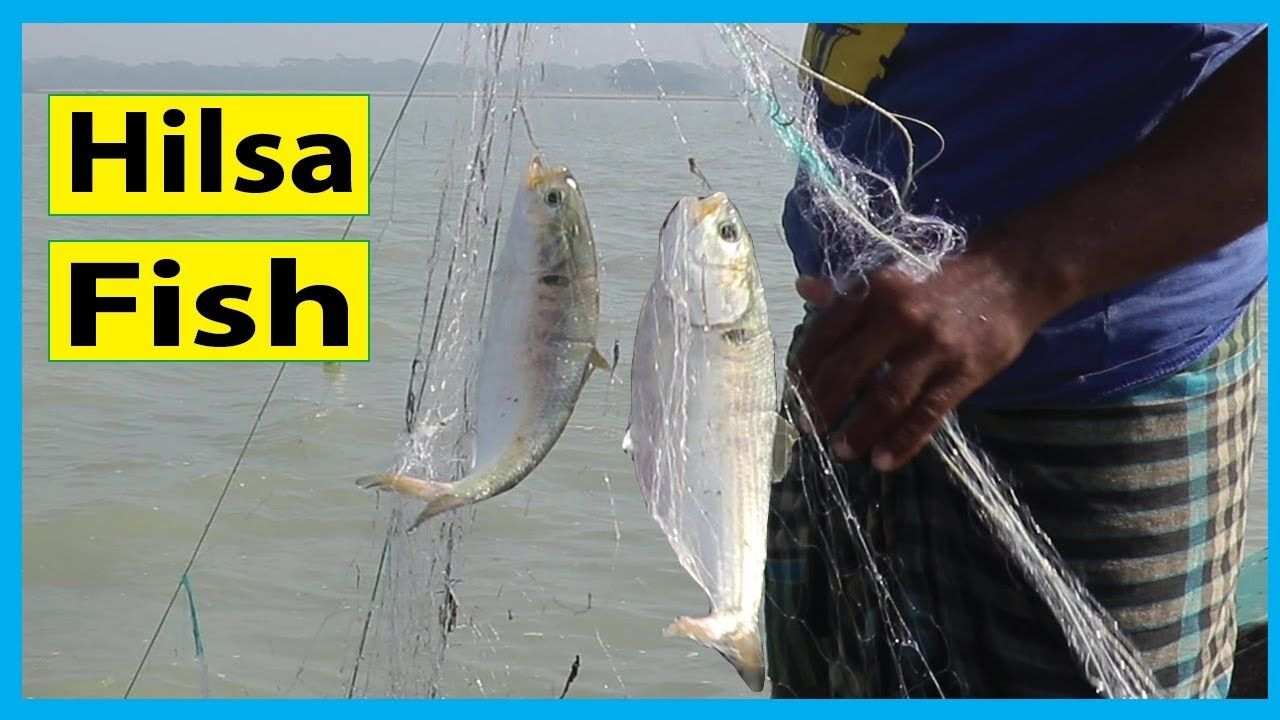 Hilsa Fish Catching in Bangladesh Fish Corn (With images
