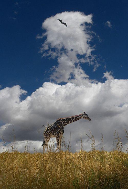 earthandanimals:   Giraffe Landscape   Photo bypeter holme iii