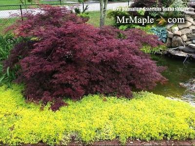 Acer palmatum 'Inaba shidare' Japanese Maple #japanesemaple