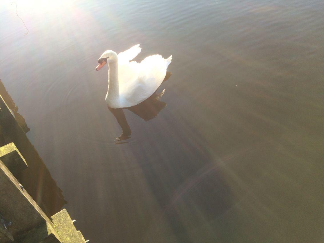 Swan Zwaan
