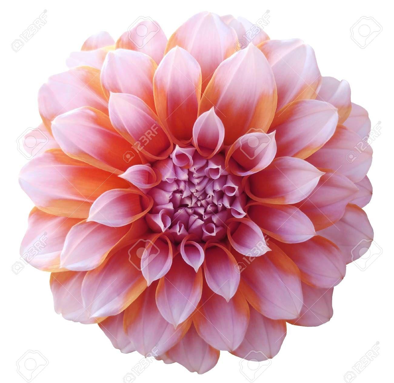 Dahlia Red Orange Flower Variegated Flower White Background Orange Flowers Variegated Flowers