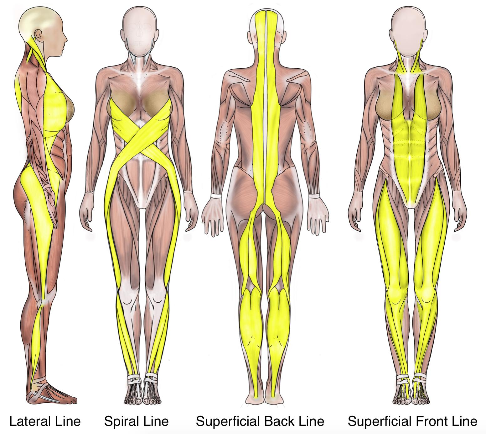 Myofascial Lines | Human Mechanics | Pinterest | Anatomy, Therapy ...