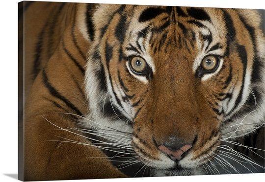 An endangered Malayan tiger, Panthera tigris jacksoni