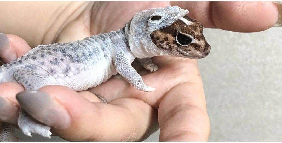 هذه ليست لعبة بل هذه سحلية حقيقية في مرحلة الانسلاخ من جلدها القديم Lizard Gecko Animals