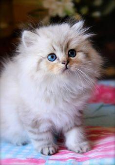 British Longhair Sea Catsdiytoy Getigerte Katze Schonen Katzen
