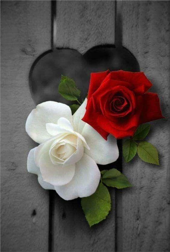 Rose Rose Flower Wallpaper Beautiful Rose Flowers Beautiful Flowers Wallpapers