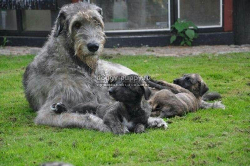 Woof Wooof By Kathleen Conroy Irish Wolfhound Puppies Wolfhound