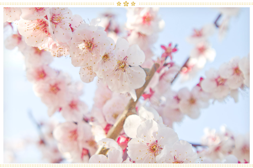 15 Japanese Flower Meanings And Where To Find Them Proflowers Blog Japanese Flowers Flower Meanings Japanese Flower Names